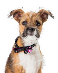Cute young scruffy tri-color mixed breed terrier puppy closeup