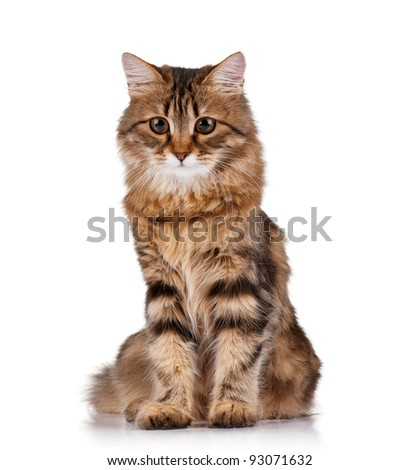 Cute young Siberian cat on white background #93071632