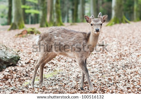 cute young sika deer fawn (lat. Cervus nippon) standing in the forest