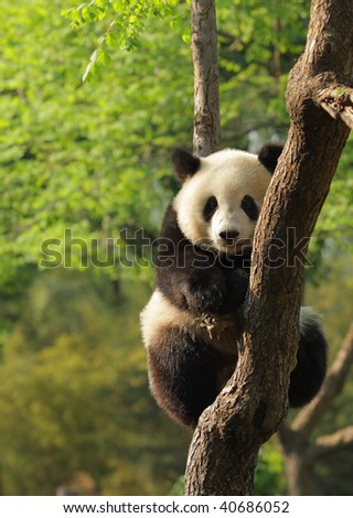 Cute young silly-looking panda sitting on a tree en face