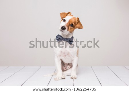 cute young small white dog wearing a modern bowtie. Sitting on the wood white floor and looking at the camera.White background. Pets indoors