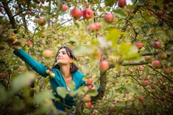 Cute young woman picking apples in an orchard having fun harvesting the ripe fruits of her family's labour(color toned image)