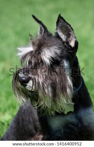 Cute zwergschnauzer puppy close up. Miniature schnauzer or dwarf schnauzer. Pet animals. #1416400952