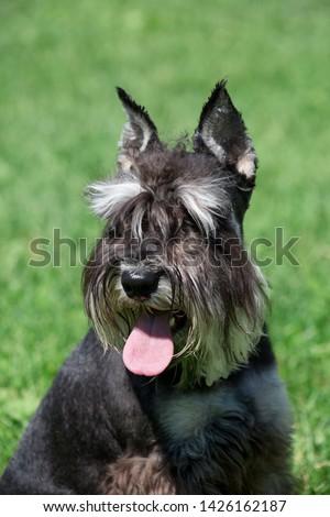 Cute zwergschnauzer puppy close up. Miniature schnauzer or dwarf schnauzer. Pet animals. #1426162187