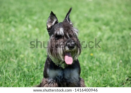 Cute zwergschnauzer puppy is sitting on a spring meadow. Miniature schnauzer or dwarf schnauzer. #1416400946