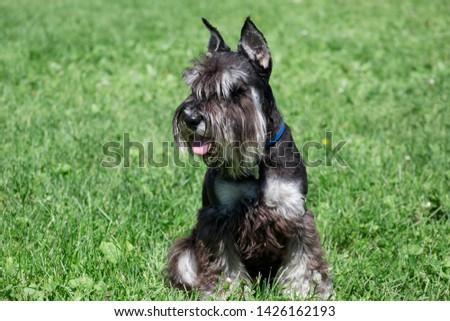 Cute zwergschnauzer puppy is sitting on a spring meadow. Miniature schnauzer or dwarf schnauzer. #1426162193