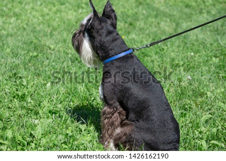 Cute zwergschnauzer puppy is standing on a green meadow. Miniature schnauzer or dwarf schnauzer. #1426162190