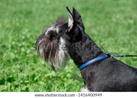 Cute zwergschnauzer puppy is standing on a spring meadow. Miniature schnauzer or dwarf schnauzer. #1416400949