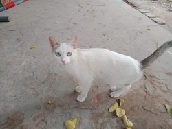 Cutee white cat ready for picc