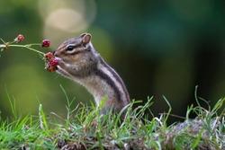 Cutest squirrel smelling a flower. Little chipmunk (Eutamias sibiricus) eat tasty blackberries. Ground squirrel / chipmunk loves blackberries.