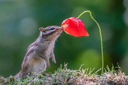 Cutest squirrel smelling a flower. Little chipmunk (Eutamias sibiricus) enjoying the flowers. Ground squirrel with beautiful red flower. chipmunk loves flowers.