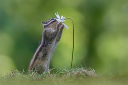 Cutest squirrel smelling a flower. Little chipmunk (Eutamias sibiricus) enjoying the flowers. Ground squirrel with beautiful white flowers. chipmunk loves flowers.