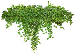 Cutout ivy with lush green foliage. Climbing plant in summer isolated on white background. High quality mask for professional composition.