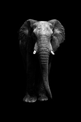 cutout of elephant on black background from front looking at camera. Whole body. copy space