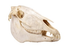 Cutout skull of domestic horse on a white background (Equus caballus)