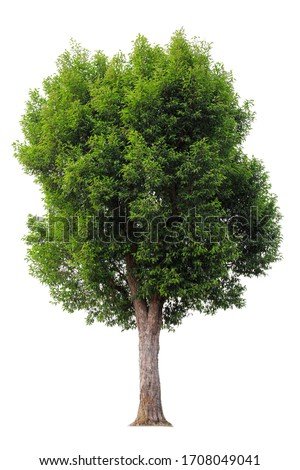 Cutout tree for use as a raw material for editing work. isolated beautiful fresh green deciduous almond tree on white background with clipping path.