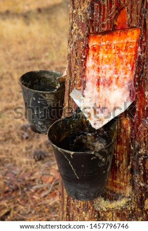 Cuts on pine trunk to collect resin Сток-фото ©