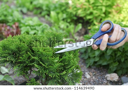 cutting the bush in the garden