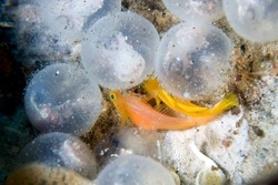Cuttle Fish eggs and goby fishes