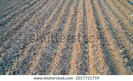 Cyamopsis tetragonoloba,is an annual legume and the source of guar gum. Guar field shot. Foto stock ©
