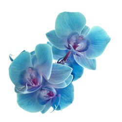 Cyan color orchid