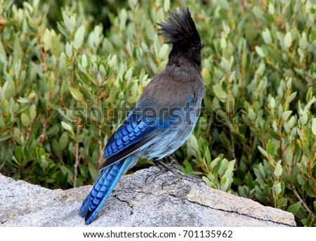 Cyanocitta stelleri,  Steller's jay, Long-crested jay, Mountain jay, Pine jay, crested bird, Tahoe Lake area, with black head and upper body, primaries and tail rich blue with darker barring. #701135962