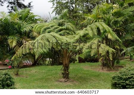 Cyatheales,  the tree fern