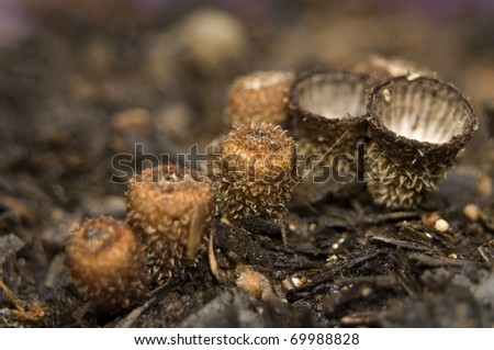 Cyathus striatus - stock photo