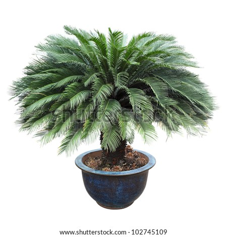 cycas in the pottery urn with white background