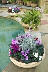 Cyclamen, ferns and orchids in beautiful earthenware pots in garden room near ornamental pool