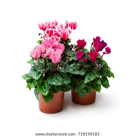 Cyclamen  flower in a flowerpot isolated on white  #718198183