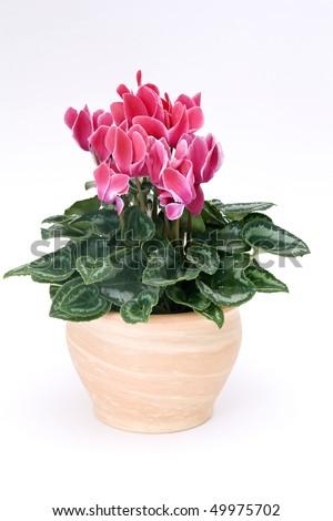 cyclamen flowerpot #49975702