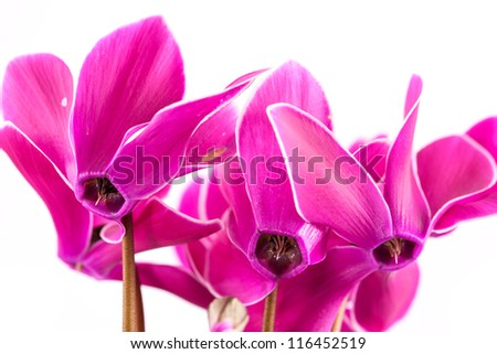 Cyclamen flowers on white background