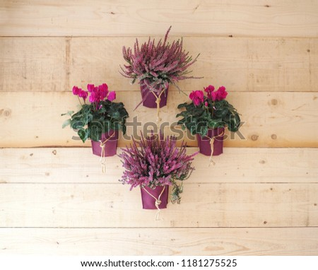Cyclamens and lavender in pots hanging on rustic wooden wall, arranged in the shape of a rhombus. Flower decorations #1181275525