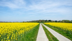 cycle path through the beautiful yellow rapeseed fields in Flemish Brabant, Belgium