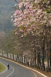 Cycling through Purple and pink blossom ( Lagerstroemia floribunda) at Bang Pra reservoir ,Sriracha ,Chonburi ,Thailand