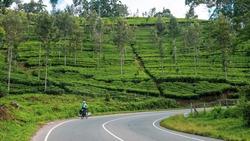 Cycling Trip Along Large Green Tea Plantations on the Way to Haputale, Sri Lanka  Concept: Active Lifestyle