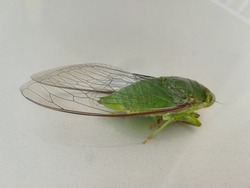 Cyclochila australasiae, commonly known as the green grocer / green cicada is a species of cicada