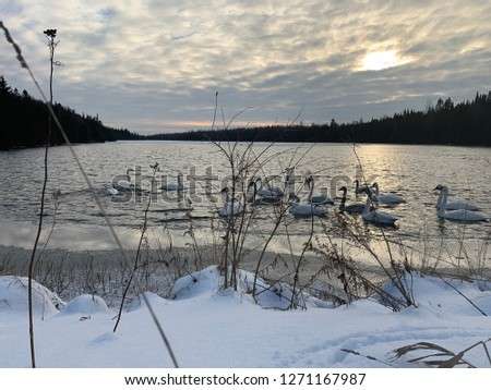 Cygnets Enjoying The Pond In Winter-Ontario, Canada