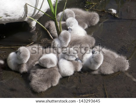 Cygnets;  tiny baby cygnets sleeping by their mother