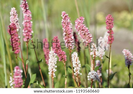Free photos fleece flower avopix cylindrical spikes of many pale pink or rose red and white flowers of polygonum affine mightylinksfo