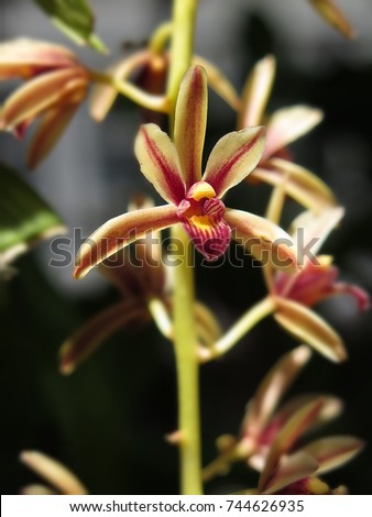 Cymbidium bicolor ,Found from  Thailand  in evergreen broadleaf and in semi-deciduous and deciduous dry lowland forests and savana-bilobed apically leaves that blooms in the spring and summer   #744626935