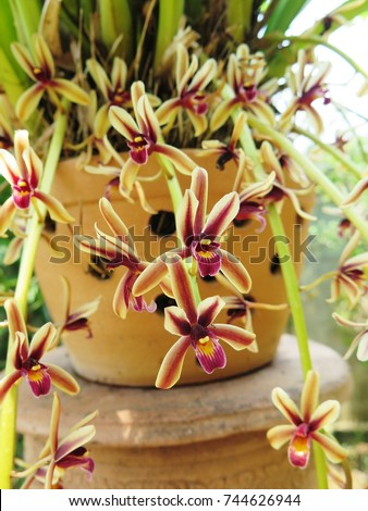 Cymbidium bicolor ,Found from  Thailand  in evergreen broadleaf and in semi-deciduous and deciduous dry lowland forests and savana-bilobed apically leaves that blooms in the spring and summer   #744626944