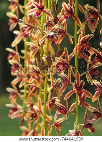Cymbidium bicolor ,Found from  Thailand  in evergreen broadleaf and in semi-deciduous and deciduous dry lowland forests and savana-bilobed apically leaves that blooms in the spring and summer   #744641539