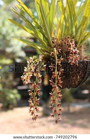 Cymbidium bicolor ,Found from  Thailand  in evergreen broadleaf and in semi-deciduous and deciduous dry lowland forests and savana-bilobed apically leaves that blooms in the spring and summer   #749202796