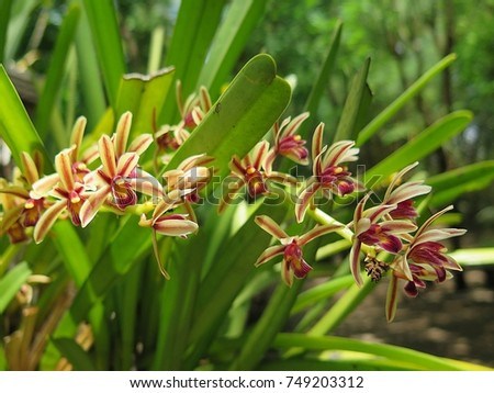 Cymbidium bicolor ,Found from  Thailand  in evergreen broadleaf and in semi-deciduous and deciduous dry lowland forests and savana-bilobed apically leaves that blooms in the spring and summer   #749203312
