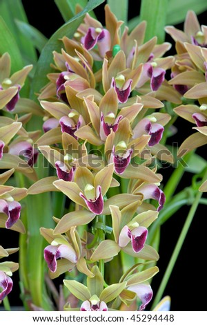 LAN VÀ THƠ ĐVTC - Page 7 Stock-photo-cymbidium-devonianum-berry-45294448