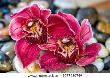 cymbidium or boat orchid  is a...