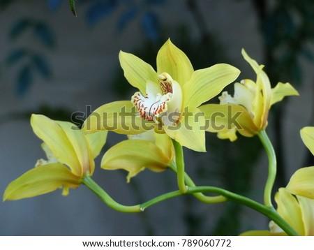 cymbidium orchid  orissa...