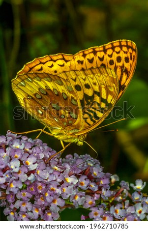 Cynthia group of colourful butterflies, commonly called painted ladies, comprises a subgenus of the genus Vanessa in the family Nymphalidae. Stock photo ©
